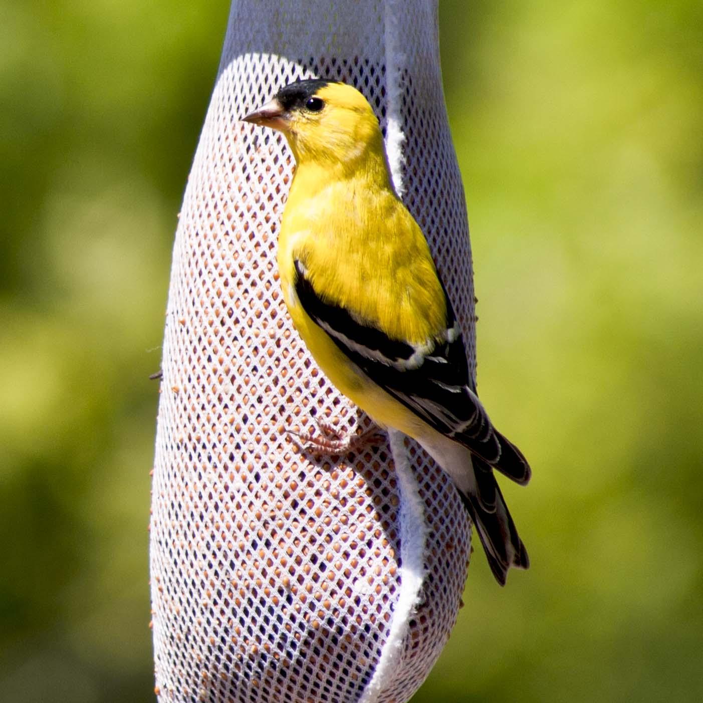 Goldfinch004